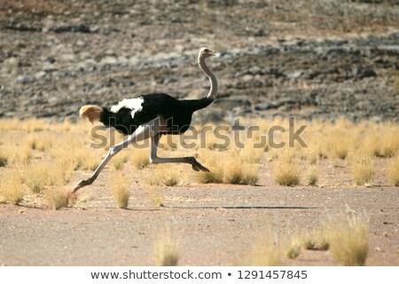 страус · хорошие · надежды · полуостров · ЮАР · трава - Сток-фото © dirkr