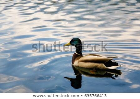 férfi · kacsa · úszik · tó · gyönyörű · felület - stock fotó © elenarts
