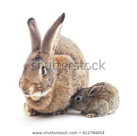 küçük · tavşan · yalıtılmış · beyaz · doğa · arka · plan - stok fotoğraf © karandaev