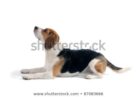триколор Beagle щенков Cute изолированный Сток-фото © remik44992