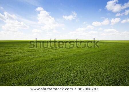 Jovem verde trigo campo crescente Foto stock © stevanovicigor