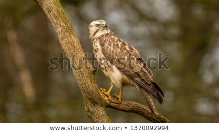 Common blonde buzzard Stock photo © ivonnewierink