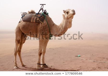 верблюда · Постоянный · песок · Storm · ног · сиденье - Сток-фото © miracky