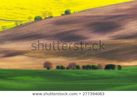 trees with rape field czech republic stock photo © phbcz