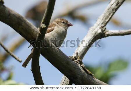 Female House Sparrow (Passer domesticus) standing on a perch Stock photo © davemontreuil