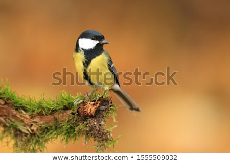 great tit parus major stock photo © elenarts