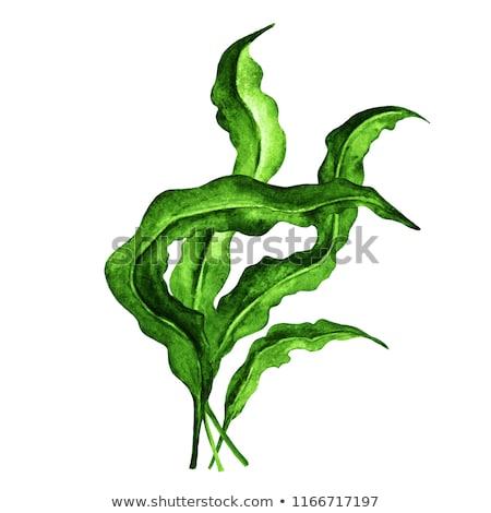 Sea Kelp. Marine Food Stock photo © ConceptCafe