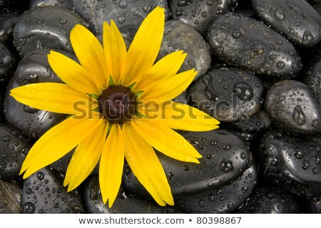 Stock foto: Pebbles And Yellow Flower On Black With Water Drops
