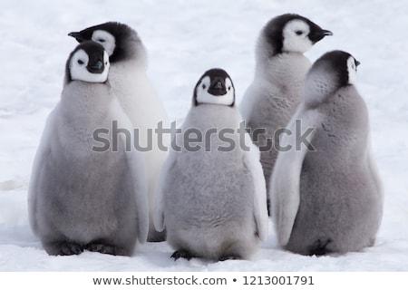 küçük · iki · aşıklar · penguen · balonlar · form - stok fotoğraf © sifis