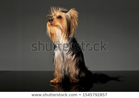 Yorkshire Terrier looking to the left in dark studio Stock photo © vauvau
