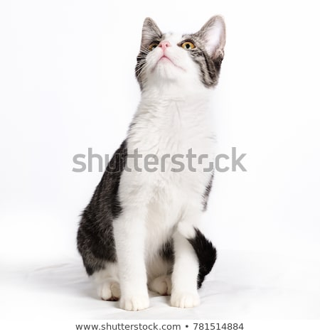 White cat looking up in a studio Stock photo © vauvau