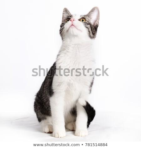 Fehér macska felfelé néz stúdió boldog szépség Stock fotó © vauvau