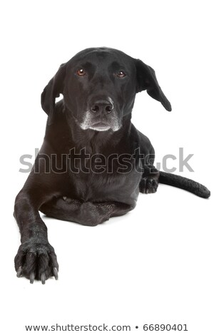 cute mixed breed dog relaxing in black studio stock photo © vauvau