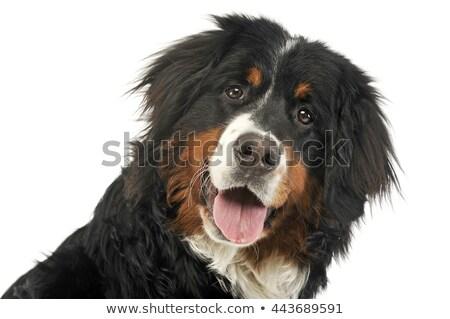 Foto stock: Bernese · mountain · dog · retrato · branco · foto · estúdio · cão
