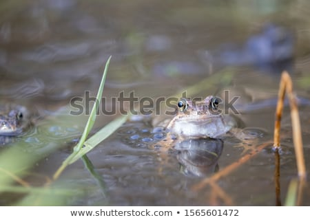 male and female brown common toads Stock photo © taviphoto