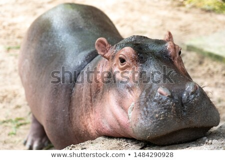 baby hippo in the pond Stock photo © adrenalina