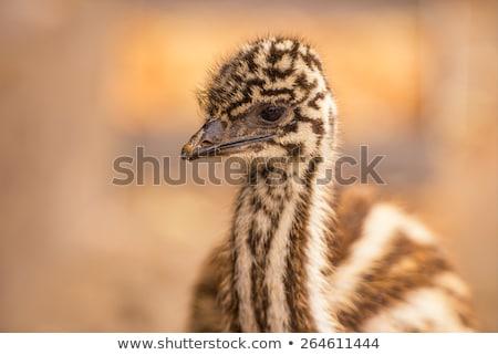 Emu (Dromaius novaehollandiae) Stock photo © dirkr