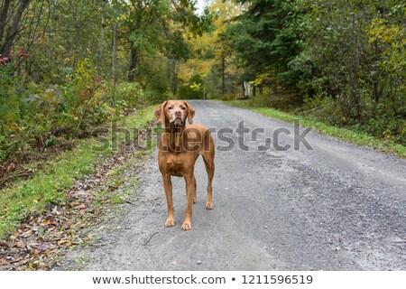 犬 立って 道路 秋 砂利道 美 ストックフォト © brianguest