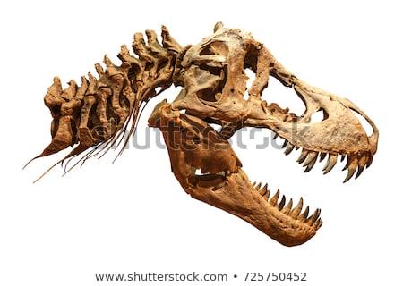 Dinosauro scheletro ossa cranio antica animale Foto d'archivio © popaukropa