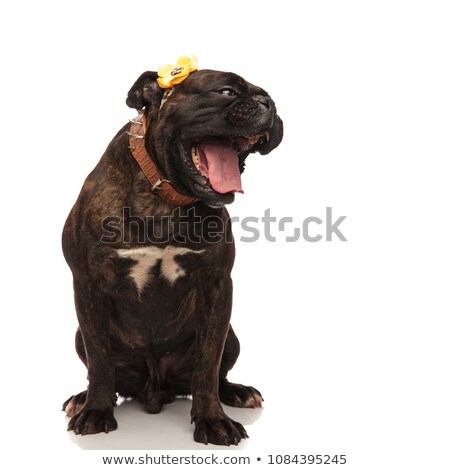 funny boxer with yellow flower on head and mouth open Stock photo © feedough
