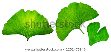 ginkgo biloba background stock photo © lightsource