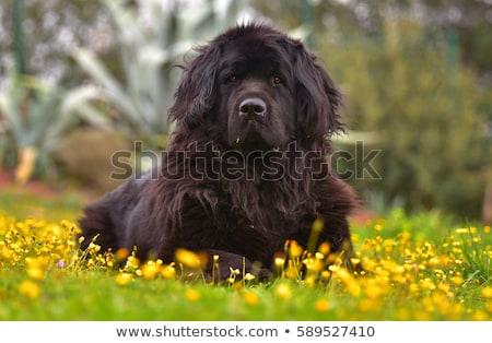 Szczeniak nowa fundlandia psa biały piłka zwierząt Zdjęcia stock © cynoclub