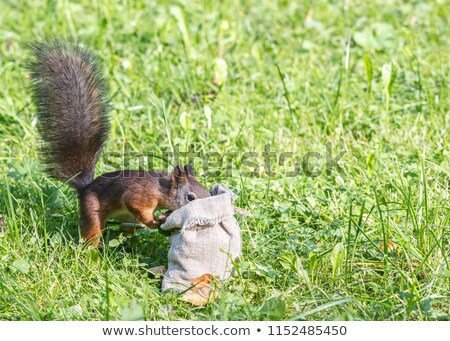 cute grey squirrel standing on lawn in the park stock photo © taviphoto