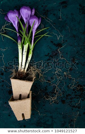 Gardening tools, peat pots, crocus flower. spring Stock photo © Illia