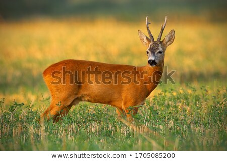 roe deer watching from wheat field Stock photo © taviphoto