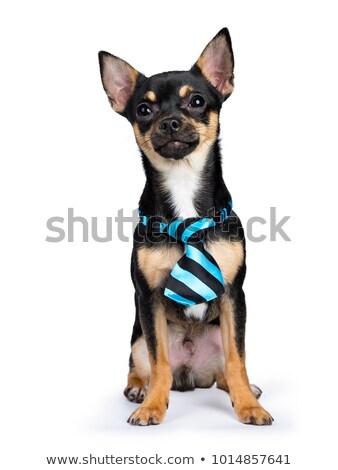 Zwarte hond geïsoleerd vergadering kant Stockfoto © CatchyImages
