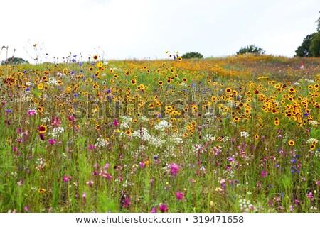 красивой области Полевые цветы Vintage стиль фото Сток-фото © Anna_Om