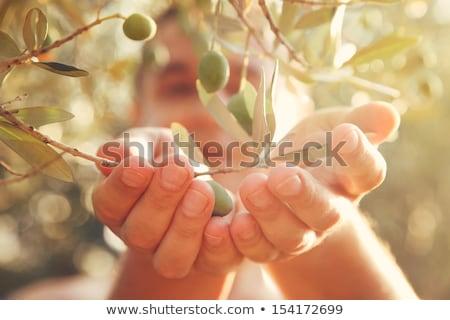 man harvesting olives in Spain Stock photo © nito