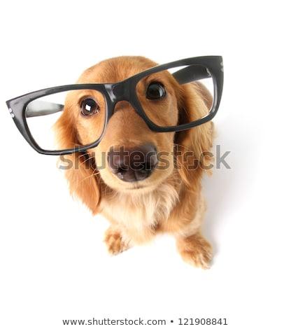 Wide angle portrait of a cute Dachshund puppy Stock photo © vauvau