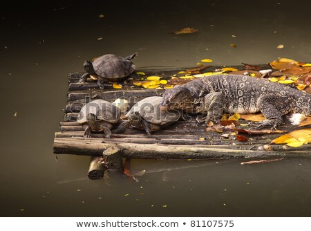 Banded monitor lizard (varanus salvator) and three turtles Stock photo © koratmember