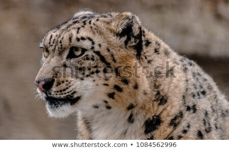 Snow leopard looking left Stock photo © bobkeenan