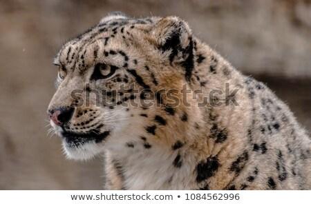 グレー · 白 · 猫 · 草 · 美しい - ストックフォト © bobkeenan