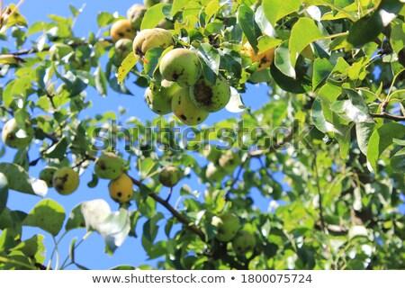 monte · maduro · peras · pereira · árvores - foto stock © simply