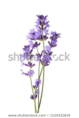 Lavender sprigs Stock photo © simply