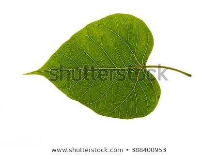 bodhi tree leaf stock photo © posterize