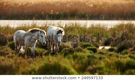 Fiatal csődör fajtiszta háttér fej állat Stock fotó © cynoclub