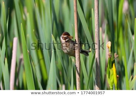 Reed Bunting Female Stock photo © chris2766