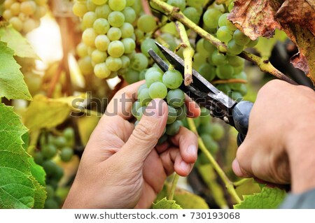 Farmer pruning vine Stock photo © photography33