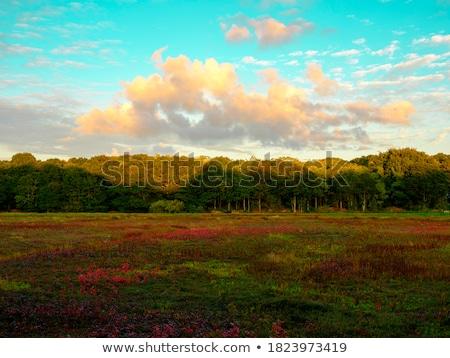 cranberry bog stock photo © cboswell