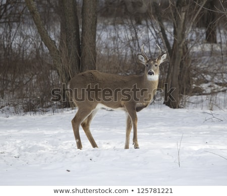 3  ポイント バック 立って 鹿 雪 ストックフォト © mybaitshop