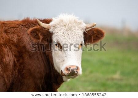 A cow with large ears Stock photo © MojoJojoFoto