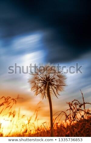 Karahindiba uzun kök mavi gökyüzü tohumları uçan Stok fotoğraf © przemekklos
