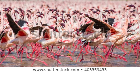 thousands of flamingos on lake nakuru stock photo © ajn