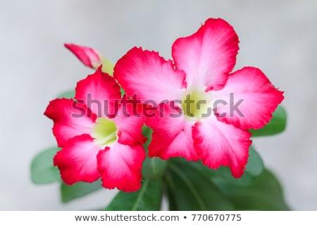 Flores vermelhas floral flor tropical vermelho deserto rosa Foto stock © thanarat27