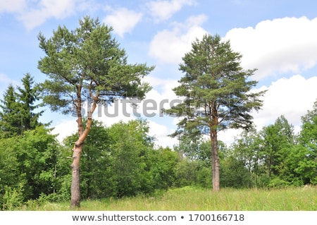 pine forest against blue sky stock photo © nejron