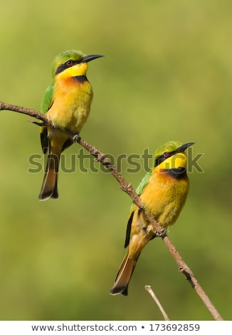 2 little bee eaters merops pusillus perching together stock photo © davemontreuil